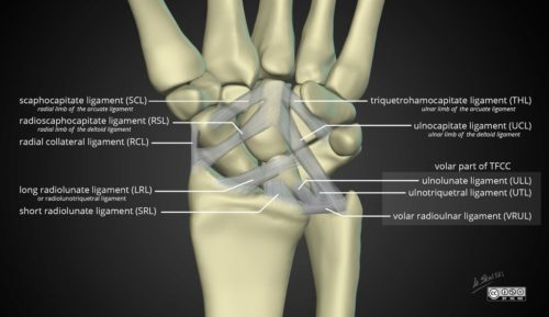 ch19 ligaments