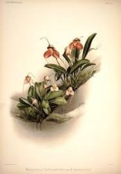 Orchid plate from Reichenbachia